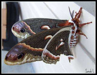 6.16.08 Cecropia Moth - Female