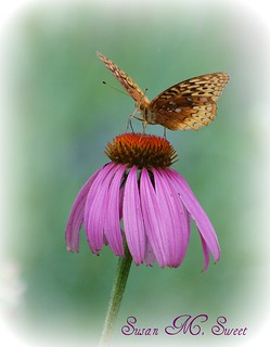 Butterfly on Purple Cone Flower