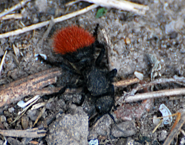 Large red hairy ants consider