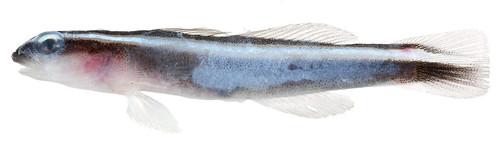 Elacatinus prochilos (Broadstripe Goby)