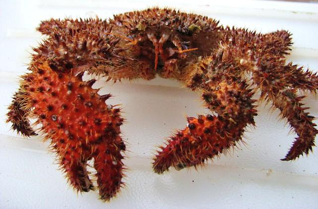Fuzzy Crab (Acantholithodes hispidus)