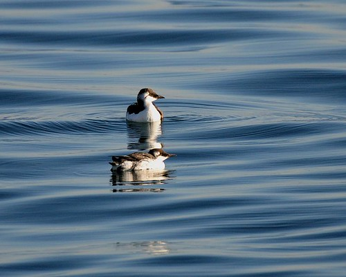 "Not So ""Common Murre"""