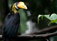 Wrinkled Hornbill (Male)