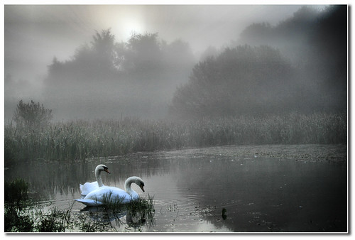 Swans on Gut Pond, Ryton Willows,  U.K.