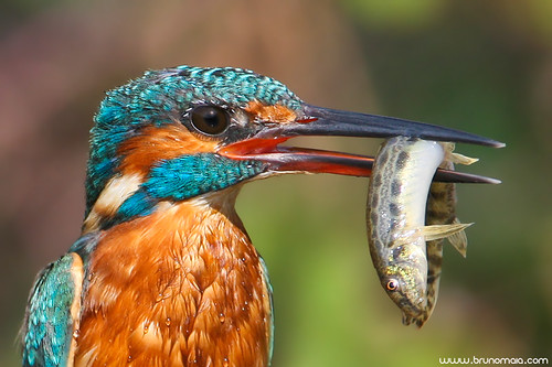 Guarda-rios | Kingfisher (Alcedo atthis)