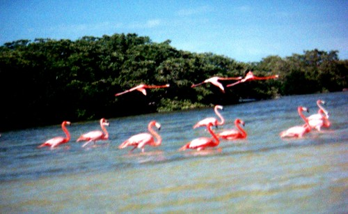 Flamingos everywhere- Rio de lagardia, Yucatan,Mexico