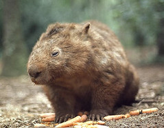Wombats are burrowing creatures who like carrots