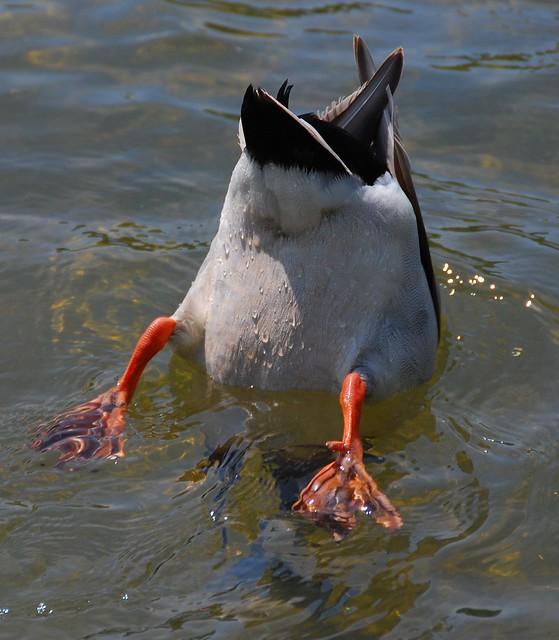 A Ducks Butt 27