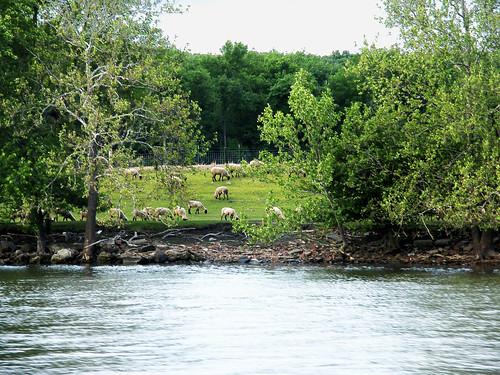 sheep riverside grazingmorrisboatingillinoisriver