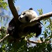 06/15/2008 Panda at San Diego Zoo by erewhon