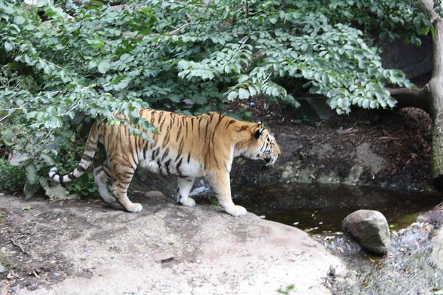 Amur tiger in the Copenhagen Zoo