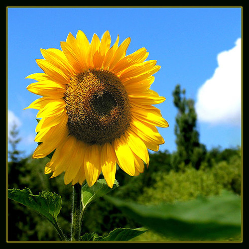 sunflower, good morning, you sure do make it like a sunny day