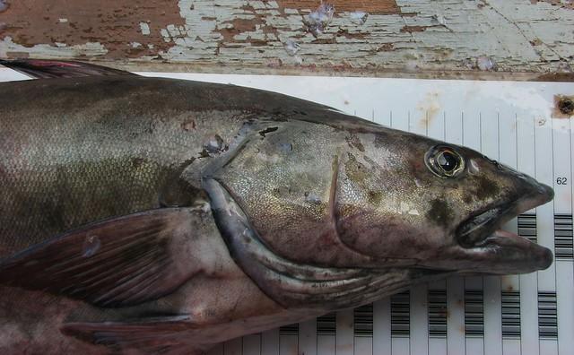 Sablefish Mail