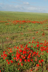 prairie, agriculture, steppe, flower, field, plain, plant, wildflower, flora, natural environment, coquelicot, meadow, pasture, grassland, poppy,