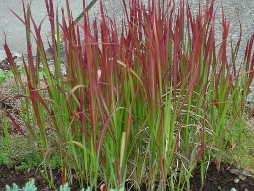Japanese blood grass greenwalks for Japanese tall grass