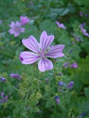 geranium cinereum(0.0), field(0.0), garden cosmos(0.0), annual plant(1.0), flower(1.0), plant(1.0), malva(1.0), wildflower(1.0), flora(1.0), meadow(1.0), geraniales(1.0),