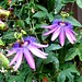 Small photo of Passiflora 'Amethyst'