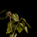 Small photo of Lime Tree