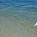 Small photo of American Egret