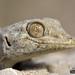 Fan-Fingerd Gecko (Ptyodactylus guttatus) מניפנית מצויה by HyperViper