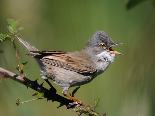 Papa Amoras // Whitethroat
