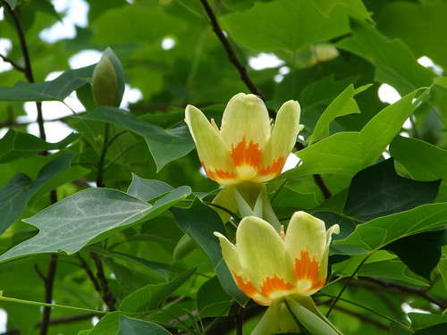 On my Tulip Tree_4-30-08