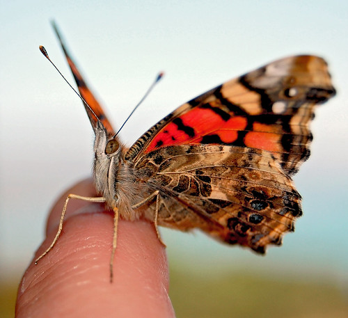 Pretty Painted Lady