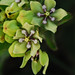 Green Milkweed - Photo (c) Jerry Oldenettel, some rights reserved (CC BY-NC-SA)