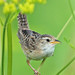 Sedge Wren - Photo (c) Jerry Oldenettel, some rights reserved (CC BY-NC-SA)