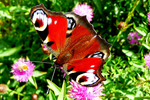 The most beautiful British butterfly?