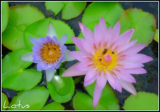 A lovely couple of lotus for YOU