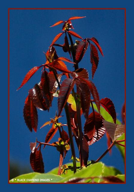Karrabina benthamiana (Geissois benthamiana) - Red Carabeen