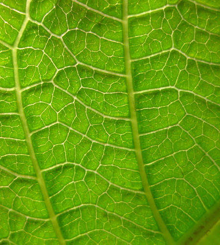 Image of Jatropha hybrid - Leaf detail (129 DAS)
