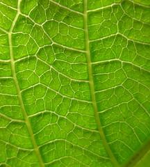 Jatropha hybrid - Leaf detail (129 DAS)