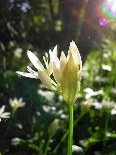 light white flower green nature sunrise spring flora hungary hike sanyo természet tavasz pécs virág xacti fény mecsek zöld fehér napfelkelte