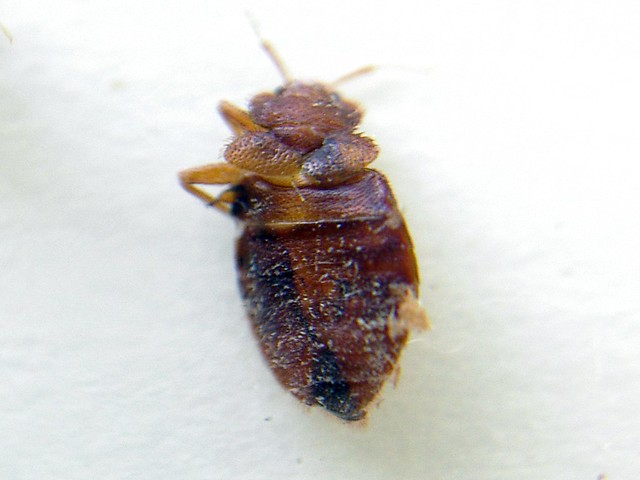 Pesticide For Bed Bugs That Begins With A T