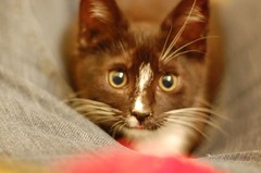 animal, kitten, toyger, small to medium-sized cats, pet, mammal, close-up, cat, whiskers, domestic short-haired cat,