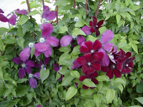 Clematis, acting as shade cloth