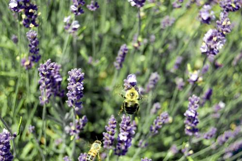 Lavender Bee Series II