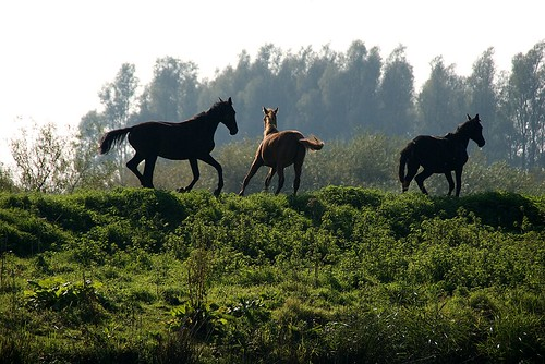 Horses engaged