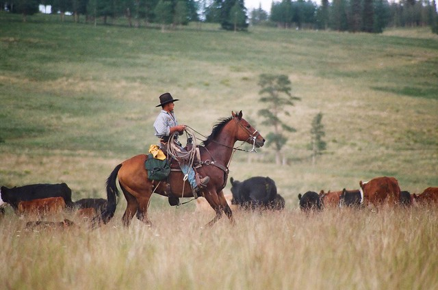 Celebrity cattle drive