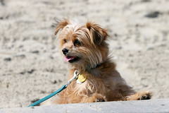 dog breed, animal, dog, schnoodle, pet, australian silky terrier, norfolk terrier, glen of imaal terrier, mammal, norwich terrier, morkie, cairn terrier, australian terrier, yorkshire terrier, terrier,