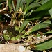 Small photo of Maxillaria longiloba (Orchidaceae)