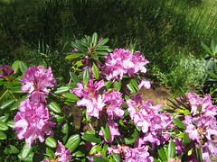 blossom(0.0), shrub(0.0), bee balm(0.0), flower(1.0), rhododendron(1.0), plant(1.0), wildflower(1.0), flora(1.0),