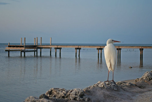 ocean morning white bird heron water sunrise keys dawn friend florida buddy egret