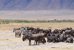 pack animal(0.0), goatherd(0.0), mustang horse(0.0), cattle(0.0), cattle-like mammal(1.0), animal(1.0), prairie(1.0), steppe(1.0), wildebeest(1.0), plain(1.0), mammal(1.0), herd(1.0), grazing(1.0), pasture(1.0), savanna(1.0), grassland(1.0), safari(1.0), wildlife(1.0),