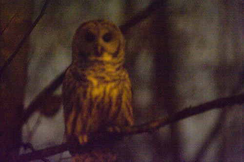 night bc owl portcoquitlam 70200mmf28gvr colonyfarmregionalpark d700 2008111600034
