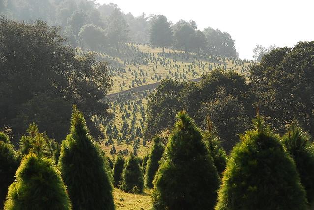 Bosque de Arboles de Navidad