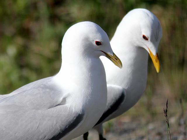 Mew Gulls (Larus canus) 2-20110619
