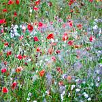 Wild-Flowers-2